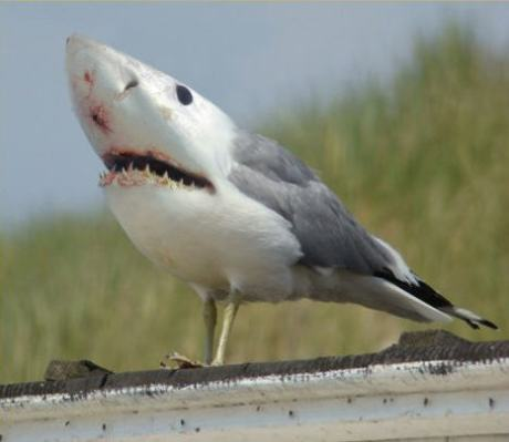 shark-gull