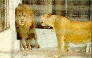 lionHenpecked