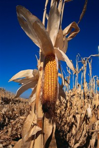 Ear of Corn Ripening in Field ca. 2000